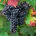 cabernet-franc-by-kirk-irwin