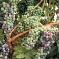 cabernet-sauvignon-in-verasian