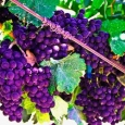 purple-grapes-by-susie-reed